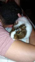 Dificultad al masticar en roedores, Cobaya abisinio