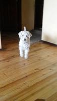Orina en casa en perros, Schnauzer miniatura