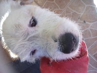 Bubulubu, mi perro cruce de bull terrier y desconocida macho, tiene tos, estornudos y mucho moco en la nariz