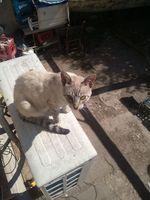 Orina muy poco en gatos, Siamés