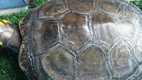 Coralita, mi reptil tortuga hembra, tiene heridas