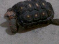 Fiby, mi reptil cruce de tortuga y desconocida hembra, tiene dificultad al caminar o levantarse