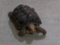 Dificultad al caminar o levantarse en reptiles, Tortuga