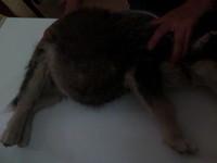 Negra, mi perro husky siberiano hembra, tiene orina muy poco
