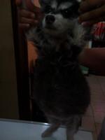 Orina muy poco en perros, Husky siberiano
