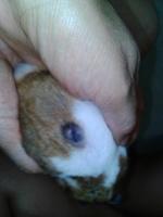 Pérdida de piel en roedores, Hámster sirio o dorado