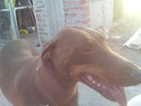 Rita, mi perro dobermann hembra, tiene heridas y agresiones