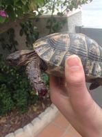 Mordeduras en reptiles, Tortuga mora