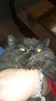 Dificultad al masticar en gatos, Azul ruso