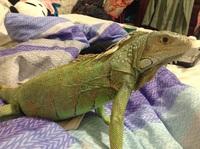 Dificultad para defecar en reptiles, Iguana