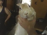 Pancho, mi roedor desconocida macho, tiene inclina la cabeza