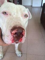 Owen, mi perro american pitbull macho, tiene tos, sangrado de nariz y estornudos