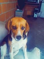 Orina en casa en perros, Beagle