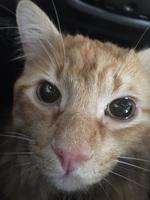 Orina muy poco en gatos, Burmés