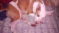 Orina muy poco en perros, Pit bull