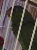 Mucho moco en la nariz en aves, Cotorrilla mejilla verde