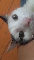 Nubes o película transparente blanca en los ojos en gatos, Criolla