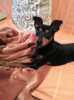 Orina en casa en perros, Pinscher miniatura