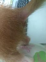 Roberta, mi gato desconocida hembra, tiene picor y rascarse, se rasca en los oídos y secreción en los oídos