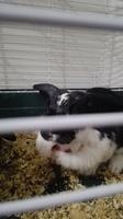 Chispa, mi roedor desconocida macho, tiene heridas y mordeduras