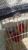 Cardenal, mi ave desconocida macho, tiene inclina la cabeza