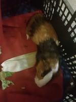 Respiración ruidosa en roedores, Cobaya