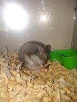 Dificultad al caminar o levantarse en roedores, Hámster ruso