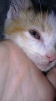 Ojos rojos en gatos, Europeo de pelo corto