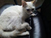 Mishka, mi gato desconocida hembra, tiene sangrado en vagina/pene