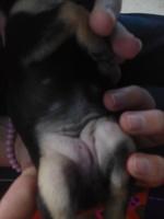 Orina muy poco en perros, Chihuahueño