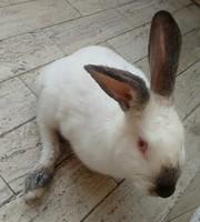 Cojera en roedores, Conejo
