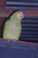 Panchi, mi ave loro real amazónico hembra, tiene mal apetito