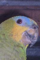 Mal apetito en aves, Loro real amazónico