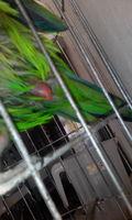 Dificultad para defecar en aves, Cotorra argentina