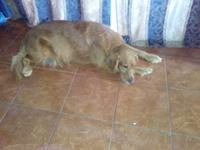 Roco, mi perro cruce de coker y mestizo macho, tiene vómito con sangre, dificultad al tragar, y mal apetito