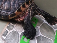 Razhar, mi reptil tortuga de orejas rojas hembra, tiene picor y rascarse