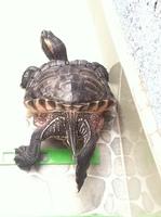 Picor y rascarse en reptiles, Tortuga de orejas rojas