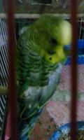 Carlos, mi ave periquito verde césped macho, tiene pérdida de pelo