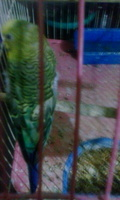 Pérdida de pelo en aves, Periquito verde césped