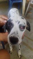 Yaki, mi perro dálmata hembra, tiene heridas