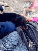 Orina en casa en perros, Rottweiler