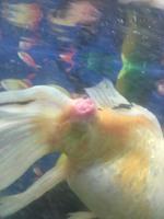 Japonecio, mi pez carpa koi macho, tiene pérdida de piel