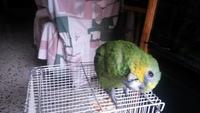 Inclina la cabeza en aves, Loro real amazónico