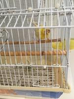 Respiración ruidosa en aves, Canario de raza española