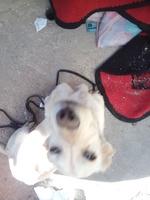Ojos amarillos en perros, Labrador