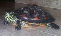 Leo, mi reptil tortuga orejas amarillas hembra, tiene cojera