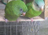 Dolor al contacto en aves, Perico ecuatoriano