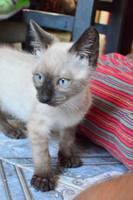 Come cosas no alimenticias (Plásticos, calcetines etc.) en gatos, Siamés