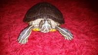 Respiración ruidosa en reptiles, Tortuga de orejas rojas