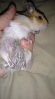 Diogenes, mi roedor hámster macho, tiene dificultad al caminar o levantarse